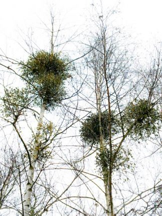 The European mistletoe (Viscum album). Image credit: Etienne Meyer.