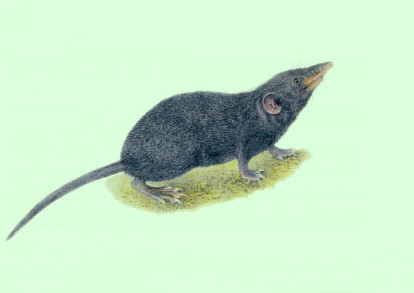 An illustration of the Palawan moss shrew (Palawanosorex muscorum). Image credit: Velizar Simeonovski, Field Museum of Natural History.