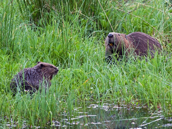 Eurasian beavers (Castor fiber), a mother and her kit. Image credit: Ray Scott / CC BY-SA 3.0.