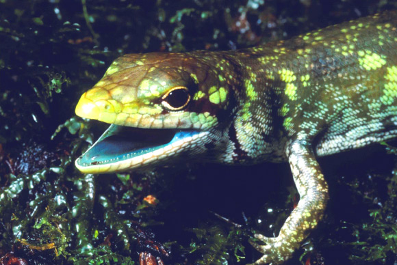 Prasinohaema prehensicauda, a green-blooded lizard with high concentrations of biliverdin, a toxic green bile pigment. Image credit: Chris Austin, Louisiana State University.
