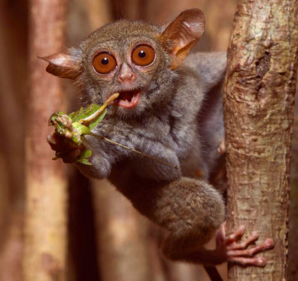A spectral tarsier (Tarsius tarsier) feeding on a grasshopper in Tangkoko National Park, Northern Sulawesi, Indonesia. Tarsiers have five chitinase genes to digest the high amount of chitin in their insectivorous diet, which likely represents the ancestral condition of all placental animals, including humans. Image credit: Quentin Martinez / University of California, Berkeley.
