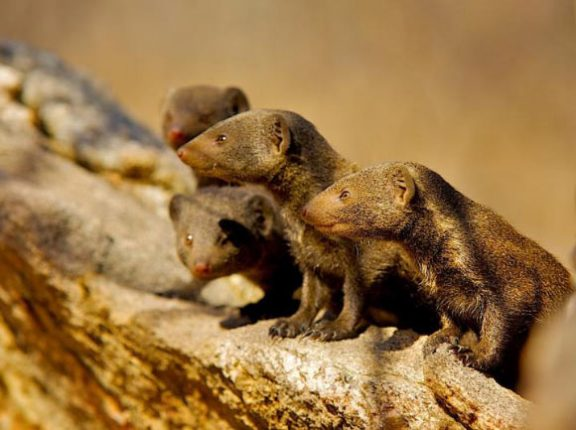 Group of dwarf mongooses in which different cooperative acts are exchanged even with a delay in time. Image credit: Shannon Wild.