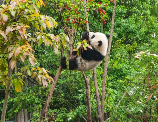 Giant pandas are found in the mountains of central China in dense bamboo and coniferous forests at altitudes of 5,000 to 10,000 feet (1,500-3,000 m). Image credit: Chester Ho.