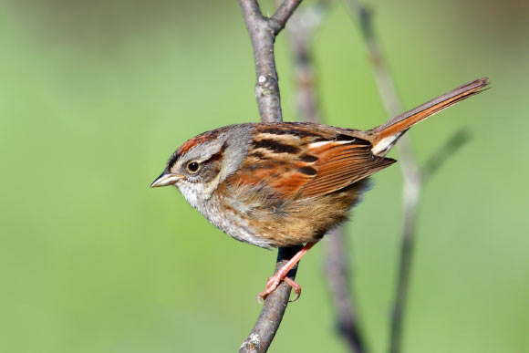 The swamp sparrow (Melospiza georgiana). Image credit: Simon Pierre Barrette / CC BY-SA 3.0.