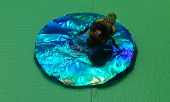 This is a bumblebee landing on an iridescent target. Image credit: Karin Kjernsmo.