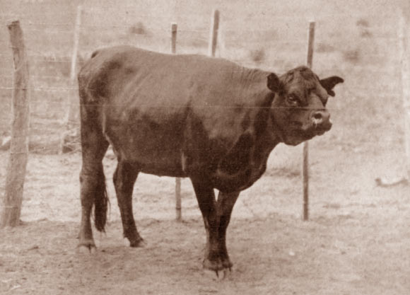 The short-faced Niata cow. Image credit: Journal of Heredity, doi: 10.1093/oxfordjournals.jhered.a110716.